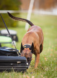 Police dog. In Sweden training for his job Royalty Free Stock Images