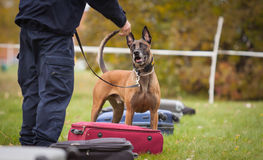 Police dog. In Sweden training for his job Stock Photos