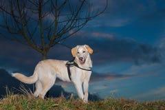 Police dog Stock Photography