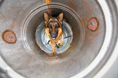 Police dog training. A police dog, german shepard, crawling through a pipe as it is busy doing obedience training on an obstacle course Stock Photos