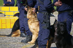 Police dogs. German shepherds trained as police dogs Royalty Free Stock Images