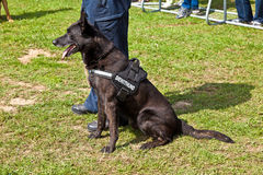 Police dogs show their discipline Stock Photography
