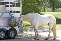 Police Horse Eating Royalty Free Stock Photography