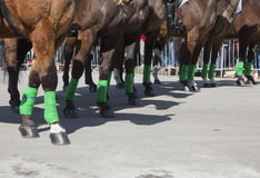 Police horses with green leggings, St. Patrick's Day Parade, 2014, South Boston, Massachusetts, USA Stock Photos