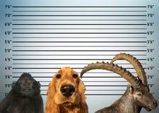 Police mugshot line up of animals dog monkey steinbock deer stock photography