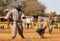 Police trained Alsatian dog, take padded running man down in sho Stock Photography