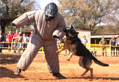 Police trained Alsatian dog, take padded running man down in sho Royalty Free Stock Photography