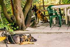 Policedogs Foto de Stock Royalty Free
