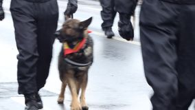 Policemen with Dogs. Walking policemen along with their police dog stock video footage