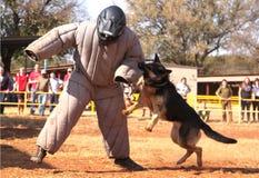 Policja trenujący owczarka niemieckiego pies, wp8lywy moścący bieg mężczyzna puszek w sho Fotografia Royalty Free