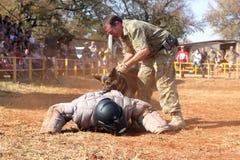 Policja trenujący owczarka niemieckiego pies, wp8lywy moścący bieg mężczyzna puszek w sho Fotografia Stock