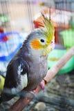 Policzka koloru żółtego papuga Zdjęcia Stock
