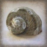Poliermeer Shell auf Schmutz-Weinlese masern Stockbild
