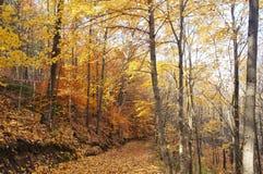 Polierte Goldblätter auf einem Herbstwald gehen in Ontario, Kanada Lizenzfreies Stockfoto
