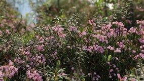 Polifolia del Andromeda Flores del romero de pantano en un día de verano en Yamal metrajes