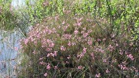 Polifolia del Andromeda Flores del romero de pantano en un día de verano en Yamal almacen de metraje de vídeo