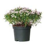 Polifolia do Andromeda, alecrim de pântano Imagem de Stock Royalty Free