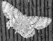 polilla Imagen de archivo