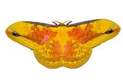Polilla amarilla grande ilustración del vector