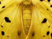 Polilla amarilla, negra, y blanca en cierre para arriba del ala, del abdomen, y del tórax aislado en el fondo blanco imagen de archivo libre de regalías