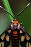 Polilla anaranjada Foto de archivo libre de regalías
