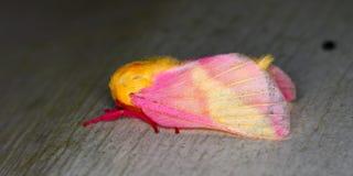 Polilla atractiva del arce (rubicunda de Dryocampa) Imagenes de archivo