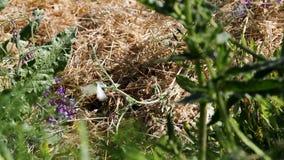 Polilla blanca que se sienta en el tallo verde que toma vuelo
