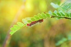 Polilla Caterpillar Foto de archivo