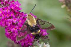 Polilla de abeja en arbusto Foto de archivo libre de regalías