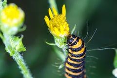 Polilla de cinabrio Caterpillar (jacobaeae de Tyria) que come el flowe del ragwort Imagen de archivo libre de regalías