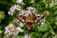 Polilla de Clearwing del colibrí Imagenes de archivo