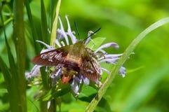 Polilla de Clearwing del colibrí Foto de archivo