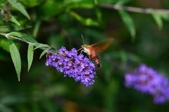 Polilla de Clearwing del colibrí que descansa sobre lila Imagen de archivo