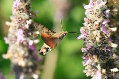 Polilla de colibrí Fotografía de archivo libre de regalías