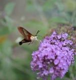 Polilla de colibrí Fotos de archivo libres de regalías