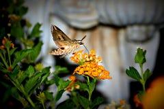 Polilla de colibrí Imagen de archivo
