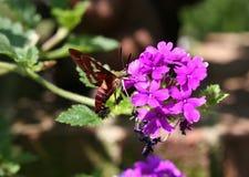 Polilla de colibrí Imagen de archivo libre de regalías