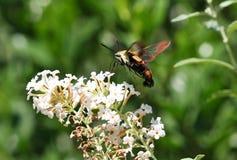 Polilla de colibrí Fotos de archivo