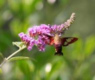 Polilla de colibrí Imágenes de archivo libres de regalías