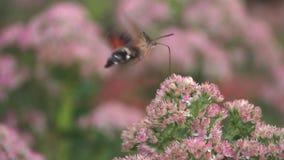 Polilla de colibrí almacen de video