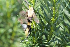 Polilla de colibrí de acoplamiento Fotografía de archivo libre de regalías