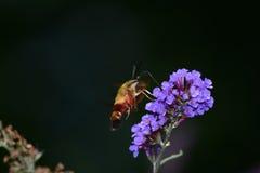 Polilla de colibrí de Clearwing en la flor Imagen de archivo libre de regalías