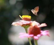 Polilla de colibrí en la flor del gerbera Imagenes de archivo