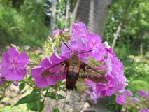 Polilla de colibrí masculina Fotografía de archivo libre de regalías