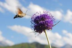 Polilla de colibrí que introduce en el néctar de una flor Fotos de archivo libres de regalías