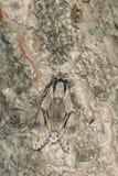 Polilla de esfinge del pino Imagenes de archivo