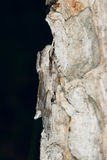 Polilla de esfinge del pino Foto de archivo libre de regalías