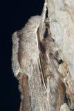 Polilla de esfinge del pino Fotografía de archivo
