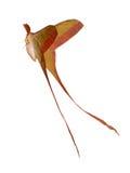 Polilla de gusano de seda rosada de la cola larga fotografía de archivo libre de regalías