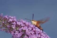Polilla de halcón clearwing del colibrí en las flores púrpuras de la mariposa b Imágenes de archivo libres de regalías